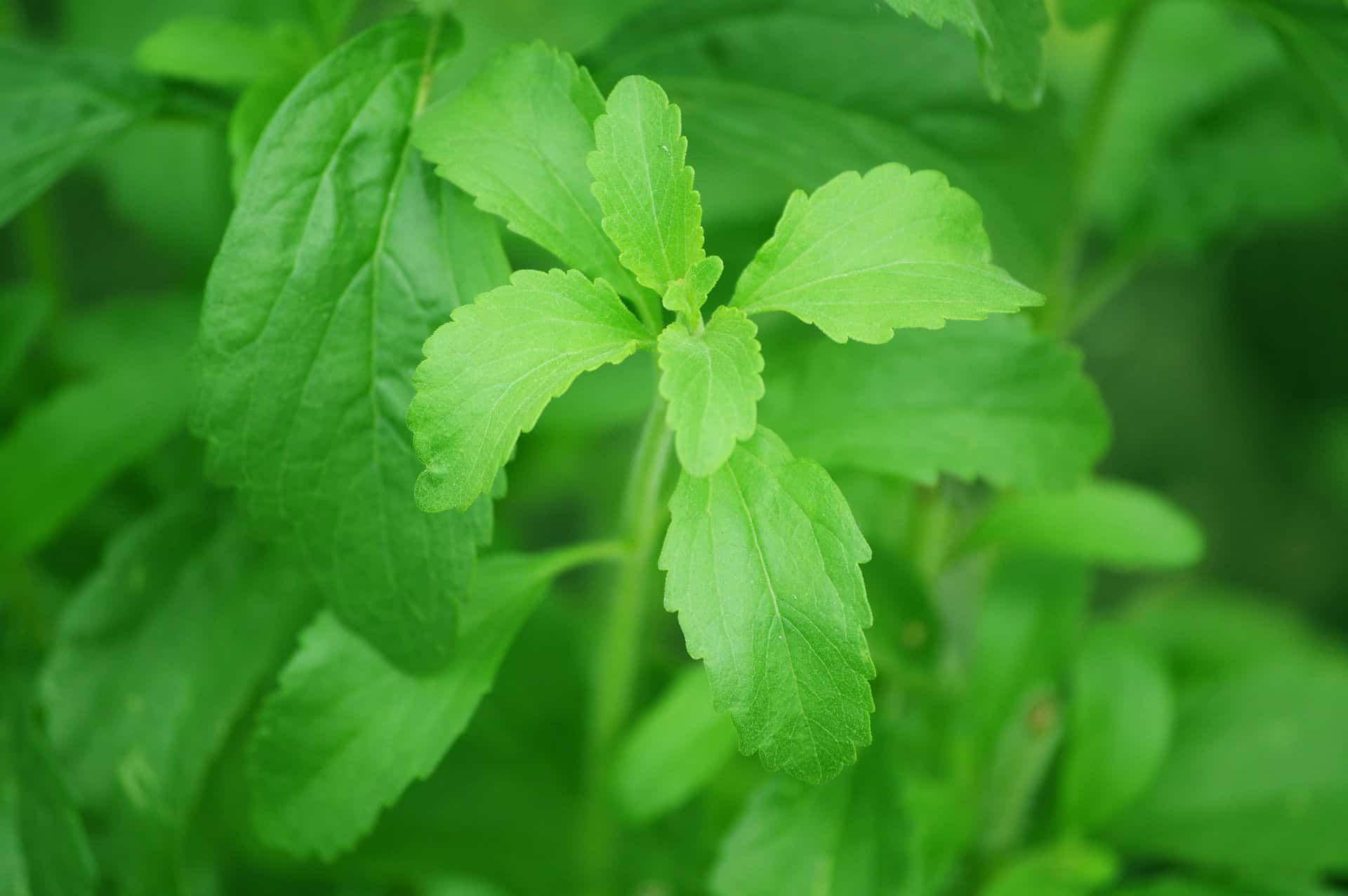 stevia biofamily