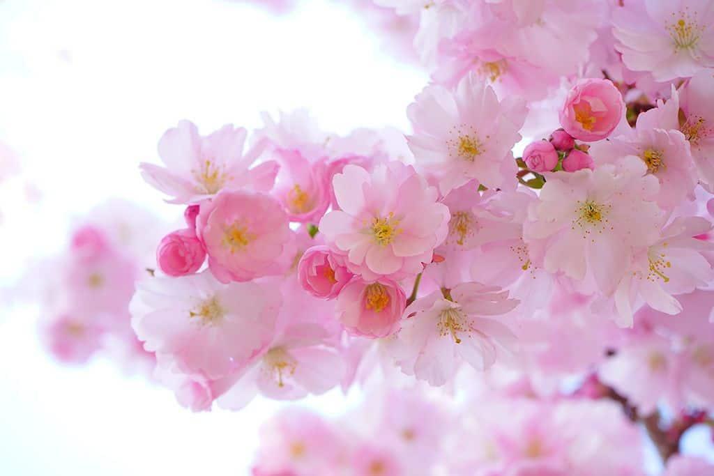 japán cseresznye virág